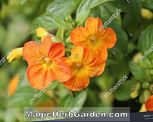 Streptosolen jamesonii (Marmalade Bush)