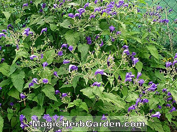 Planter: Strobilanthes atropurpureus (Strobilanthes)