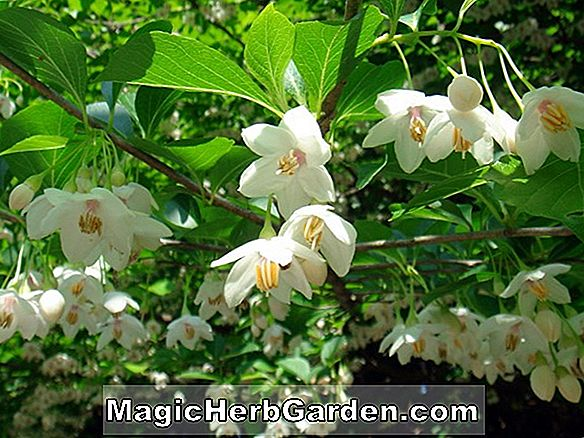 Styrax japonicus (japansk snowbell)