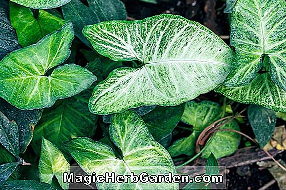 Pflanzen: Syngonium macrophyllum (Philodendron)