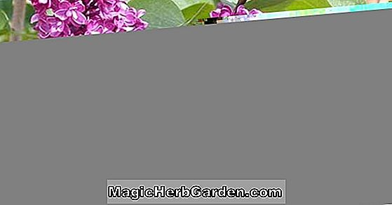 Syringa vulgaris (Charm Common Lilac)