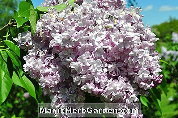 Syringa vulgaris (General Sherman Common Lilac) - #2