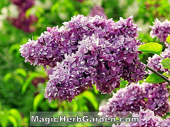 Syringa vulgaris (Henri Robert Common Lilac)