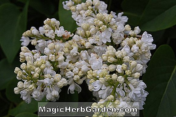 Syringa vulgaris (Jeanne d Arc Common Lilac) - #2