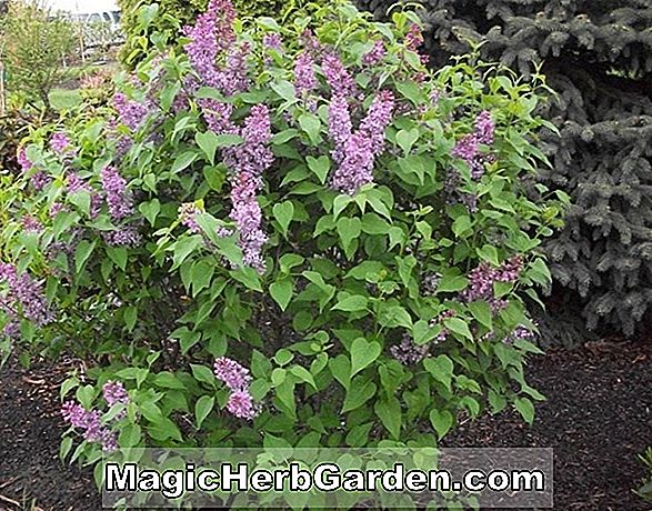 Syringa vulgaris (William Robinson Common Lilac)