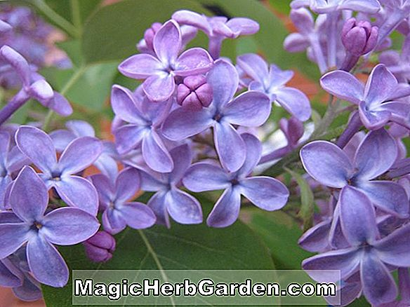 Syringa vulgaris (Maud Notcutt Common Lilac)