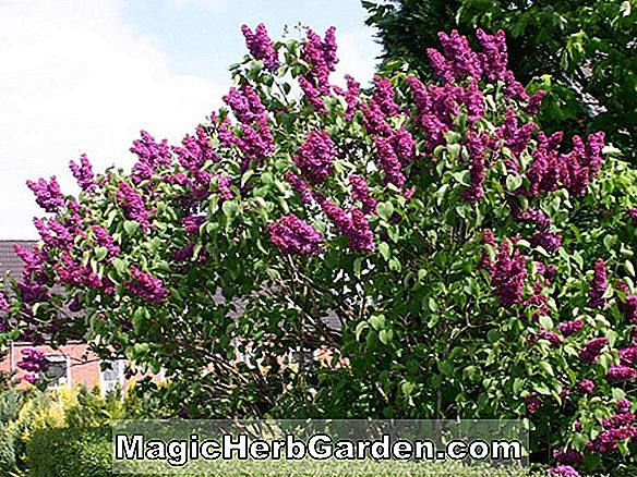 Syringa vulgaris (Monge Common Lilac) - #2