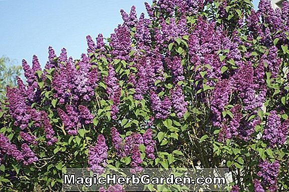 Syringa vulgaris (Christopher Columbus Common Lilac) - #2