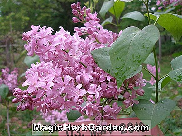 Syringa vulgaris (Night Common Lilac) - #2