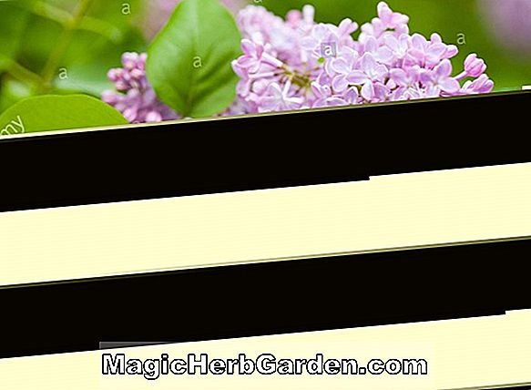 Syringa vulgaris (Montaigne Common Lilac)