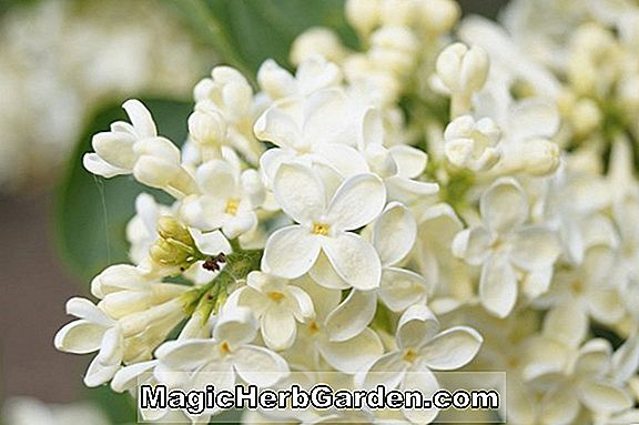 Syringa vulgaris (Saint Margaret Common Lilac)