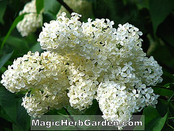 Syringa vulgaris (Pride of Moscow Common Lilac) - #2
