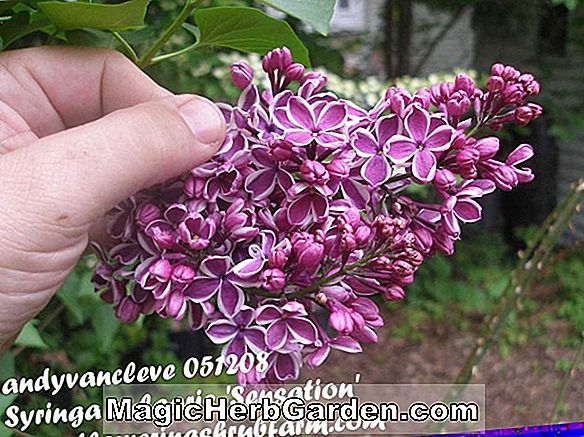 Syringa vulgaris (Sensation Common Lilac) - #2