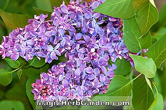Syringa vulgaris (White Angel Descanso Lilac) - #2