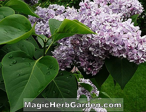 Syringa vulgaris (Sarah Sands Common Lilac)