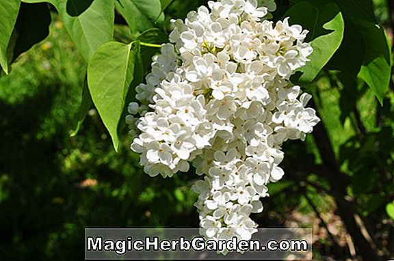 Planter: Syringa vulgaris (Mme Florent Stepman Common Lilac)