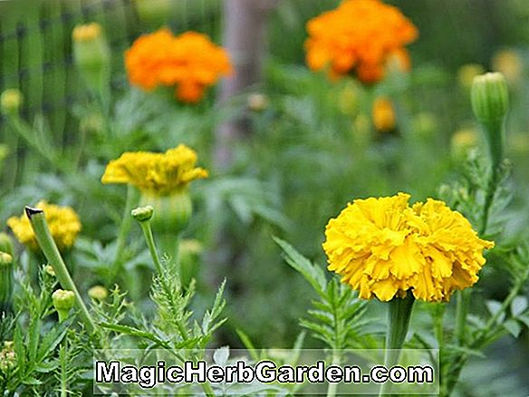 Planter: Tagetes erecta (First Lady Marigold)