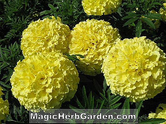 Tagetes erecta (Perfection Series Marigold)