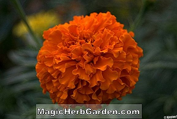 Tagetes Tripliod Group (Nugget Series Marigold)