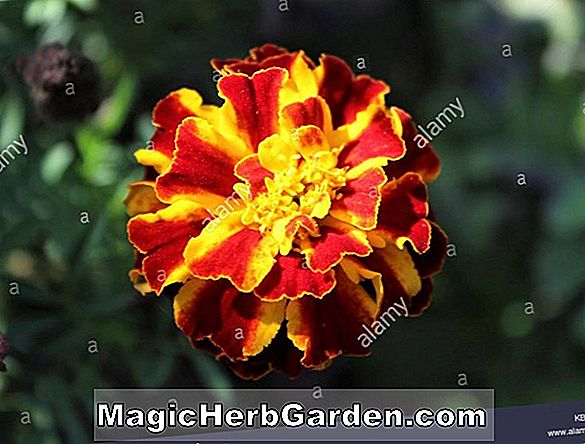 Tagetes Tripliod Group (Triploid Marigold) - #2