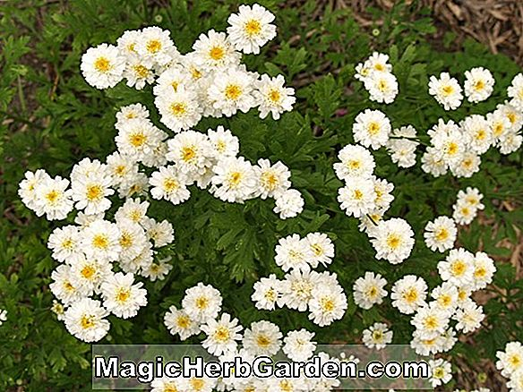 Planter: Tanacetum parthenium (Ball's Double White Chrysanthmum)