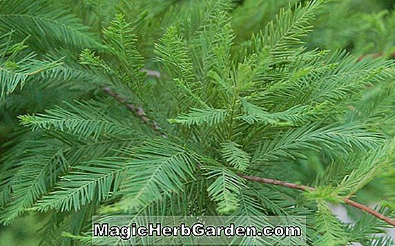 Planter: Taxodium distichum (Shawnee Brave Bald Cypress)