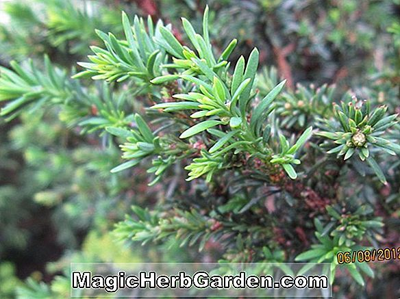 Taxus baccata (Procumbens English Yew) - #2