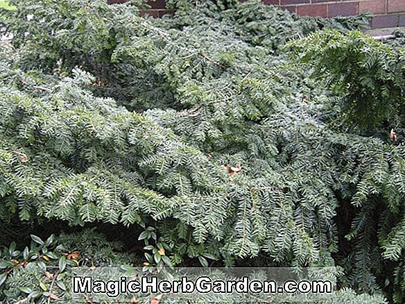 Planter: Taxus baccata (Prostrata English Yew) - #2