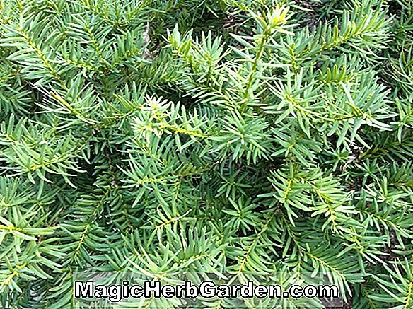 Planter: Taxus baccata (Expansa English Yew) - #2