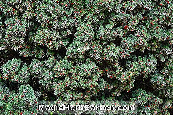 Taxus baccata (Melfard English Yew)