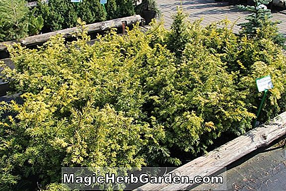 Taxus baccata (Decora English Yew) - #2