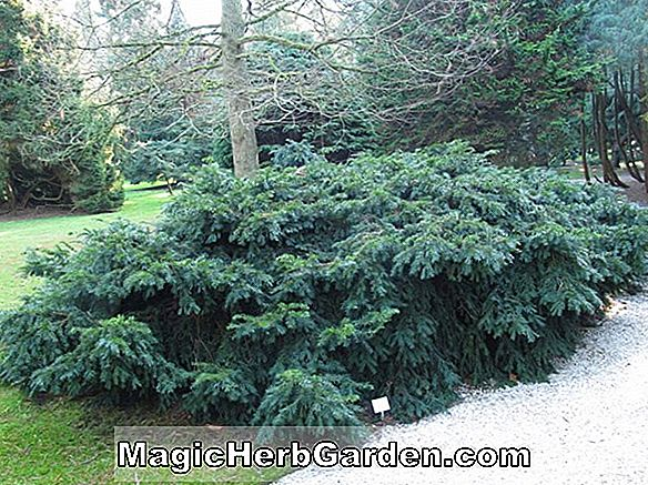 Planter: Taxus baccata (English Yew) - #2