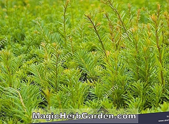 Planter: Taxus baccata (Elegantissima English Yew)