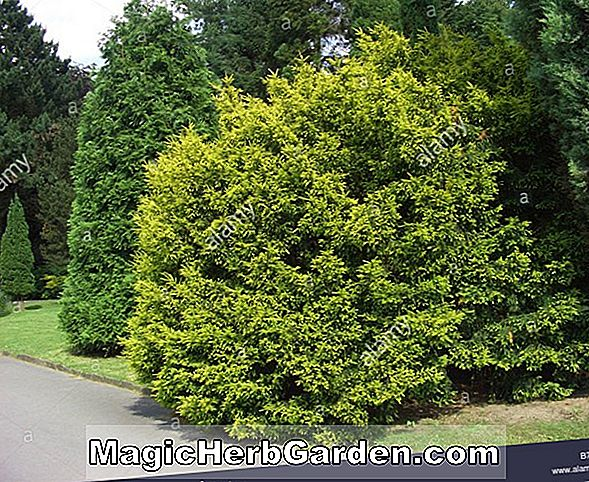 Taxus baccata (Erecta Aurea English Yew)