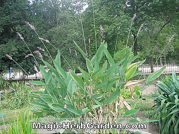 Planter: Thalia dealbata (Thalia)
