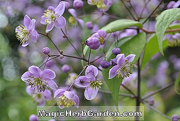 Planter: Thalictrum rochebruneanum (Meadow rue)