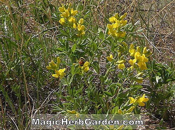 Thermopsis rhombifolia (Mountain false lupin)