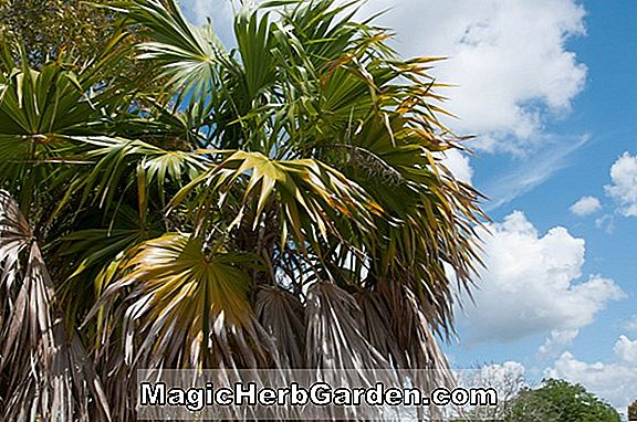 Planter: Thrinax (Thatch Palm)