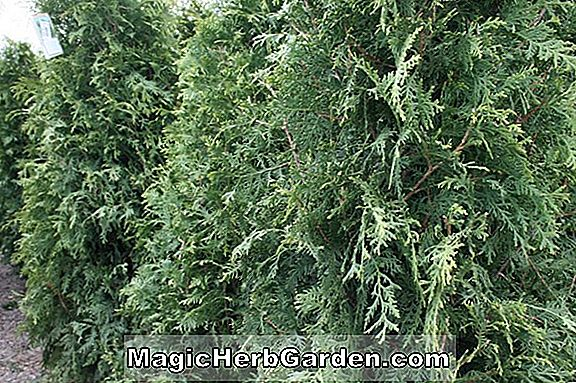 Planter: Thuja occidentalis (Gold Spot American Arborvitae)