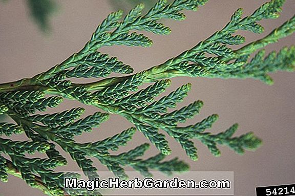 Thuja occidentalis (Center Grove American Arborvitae)
