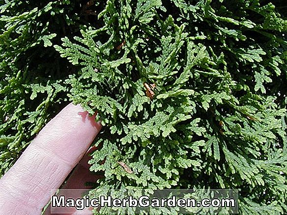 Thuja occidentalis (Snow Tip American Arborvitae) - #2