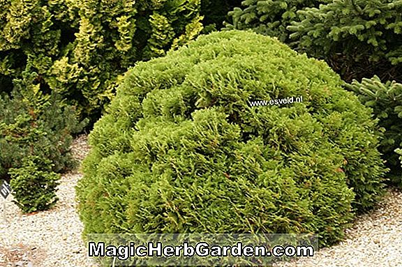 Thuja occidentalis (Spherica American Arborvitae)