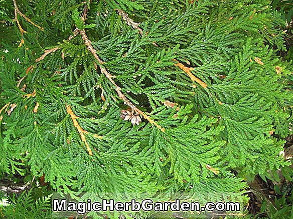 Thuja occidentalis (Hbor Junior American Arborvitae)