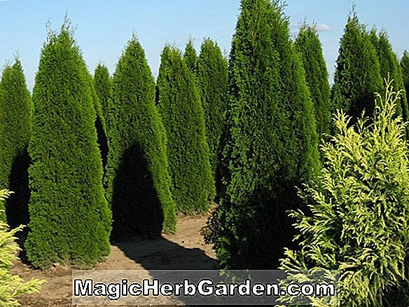 Thuja occidentalis (Degroot's Emerald Spire American Arborvitae)