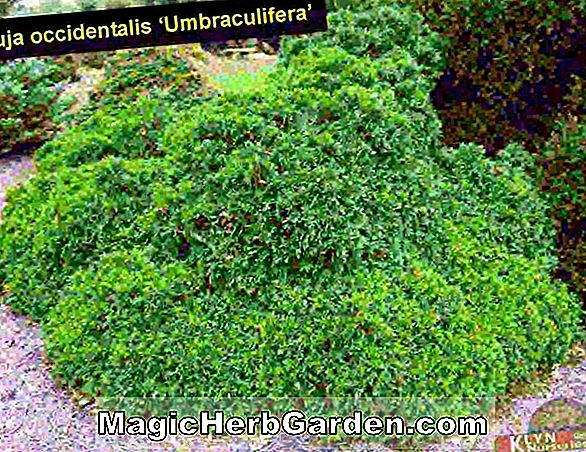 Thuja occidentalis (Douglas Pyramidalis) - #2