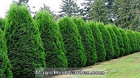 Thuja occidentalis (Emerald American arborvitae)