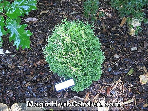 Planter: Thuja occidentalis (Woodwardii American Arborvitae) - #2
