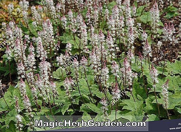 Tiarella wherryi (Eco Red Heart Tiarella)