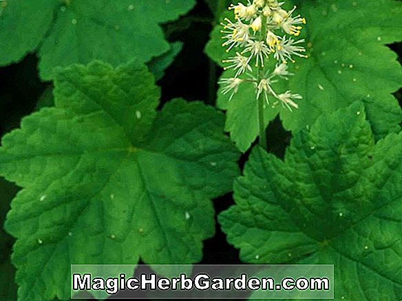 Planter: Tiarella (Maple Leaf Tiarella)
