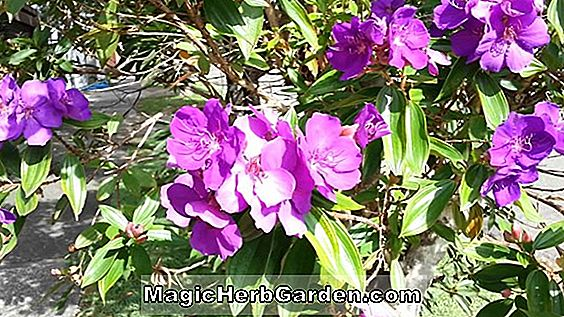 Tibouchina semidecandra af haver (Glory Bush)
